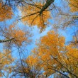 Yellow autumn birch leaves on thin branches, illuminated by the sun against the blue sky from the bottom up, the trees, leaving the prospect of upward — Stock Photo