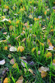 Green grass with yellow autumn leaves of birch — Stok fotoğraf