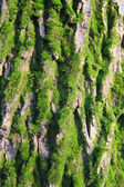 Fluffy green moss on the bark of oak textured 002 — Stock Photo