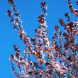 Beautiful spring flowering fruit tree with pink small flowers on a background of blue sky without clouds — Stock Photo #43838321