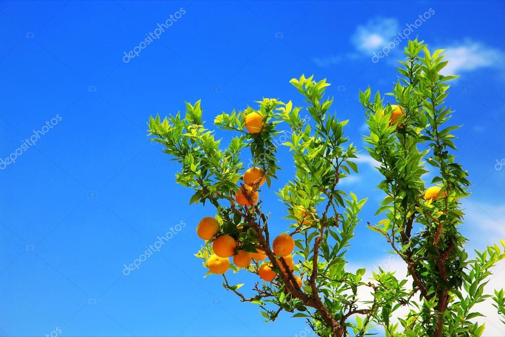 �rbol de mandarina contra un verano de cielo azul en Italia � Foto ...