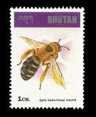 Honeybee apis laboriosa smith — Stock Photo