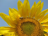 Colors of the summer - beautiful sunflower and the bee — Stock Photo