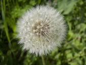 Happy Dandelion — Stock Photo
