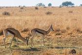 Two Springboks — Stock Photo