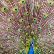 Stock Photo: Peafowl