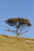 Scots pine tree, Pinus sylvestris. — Stock Photo