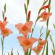 Gladiolus Flower — Stock Photo