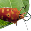 Stock Photo: Red Bug going from One Leaf to Another