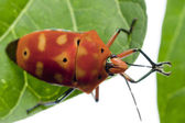 Red Bug going from One Leaf to Another — Stock Photo