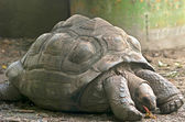 Giant Turtle — Stock Photo