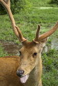Swamp Deer — Stock Photo