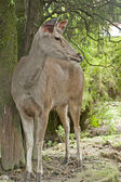 Musk Deer — Stock Photo