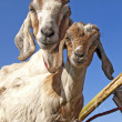 Goats Staring at Camera — Stock Photo