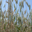 Wheat Plant — Stock Photo
