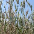 Wheat Plant — Stock Photo