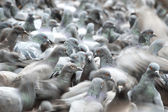 Herd of Pigeons — Stock Photo