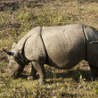 Stock Photo: One-Horned Rhino in Nepal