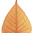 Withered Bodhi Leaf — Stock Photo