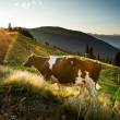 Постер, плакат: Cow on a Mountain Meadow