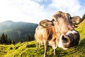 Hnědé plemeno kráva — Stock fotografie