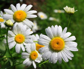 White daisy with drops of water on a meadow — Stock Photo