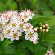 Stock Photo: Blossoming branch of a hawthorn