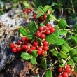 Stock Photo: Bush of ripe cowberry in forest