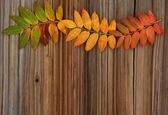 Autumn natural background: yellow and red leaves mountain ash on — Stock Photo
