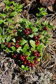 Cespuglio di un maturo cowberry nella foresta — Foto Stock