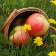 Basket with apples on a glade with dandelions in a grass  — Stock Photo
