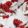 Stock Photo: Viburnum with berries under snow