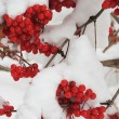 Viburnum with berries under snow — Stock Photo