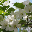 Stock Photo: Blossoming branch of an apple-tree