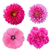Set four pink flowers. Pink aster, dahlia, lavater, petunia isol — Stock Photo