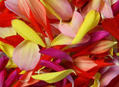 Flower background: petals of flowers of a dahlia different color — Stock Photo