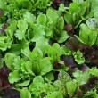 Stock Photo: Lettuce with water drops on garden bed