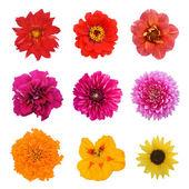 Set flowers: sunflower, nasturtium, aster, dahlia, petunia, zinnia, marigold flower isolated on white background — Stock Photo