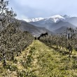 Olive trees in rows beneath the snowy peaks — Stock Photo
