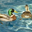 Stock Photo: Mallard drake and hen duck swim together