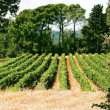 Rows of Grape Vines, Framed by Trees — Stock Photo