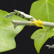 Stock Photo: Yellow spider with Ivy leaves and Lobelia