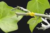 Yellow spider with Ivy leaves and Lobelia — Stock Photo
