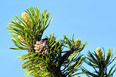 Pine tree tip with needles and cone — Stockfoto