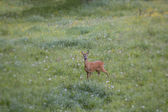 Spring Flowers Attract a European Roe Deer — Stock Photo