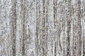Winter Poplar Trees Stand Erect in a Snowstorm — Stock Photo