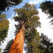 General Sherman tree — Stok fotoğraf