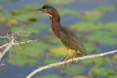 Green heron resting on a branch overlooking a lake with lilypads — Stock Photo