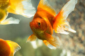 Fish in aquarium — Stock Photo