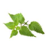 листья крапивы — Стоковое фото